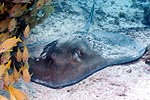 Stingrays are common to West Palm Beach Florida Diving