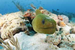 Dive West Palm Beach Florida to see Green Morays