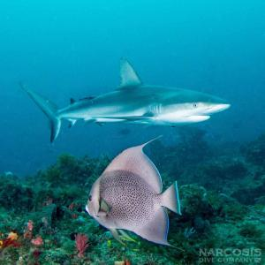 See Lemon sharks and Angelfish while SCUBA diving