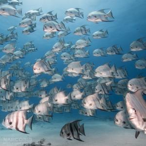 School of spadefish