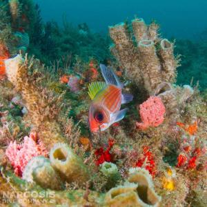 Squirrelfish and coral reef in Florida